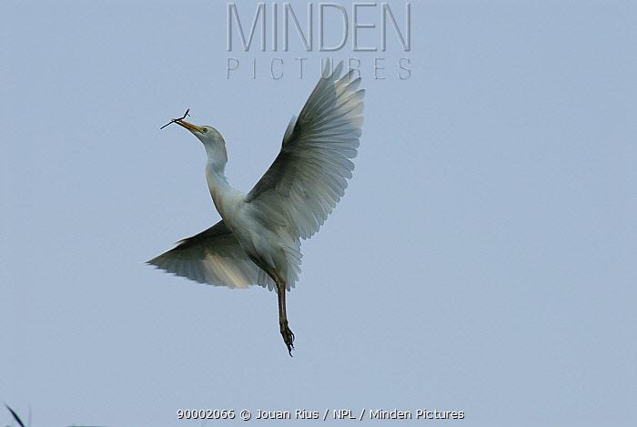 Cattle Egret (Bubulcus ibis) flying with twig in its mouth, Tsarasaotra lake, Antananarivo, Madagascar  -  Jouan & Rius/ npl