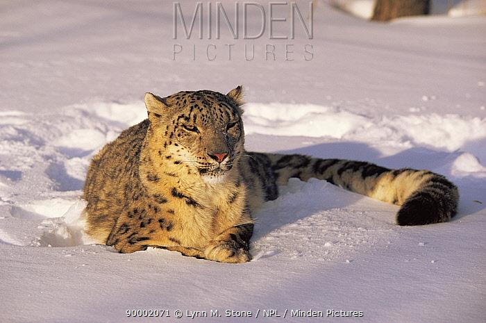 Snow leopard (Panthera uncia) portrait in snow, captive  -  Lynn M. Stone/ npl