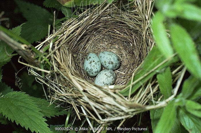 Marsh Warbler (Acrocephalus palustris) nest with eggs Worcestershire, United Kingdom  -  Mike Wilkes/ npl