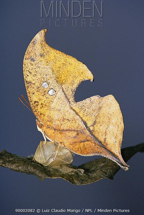Butterfly (Zaretis itis) mimics dead leaf, Brazil  -  Luiz Claudio Marigo/ npl