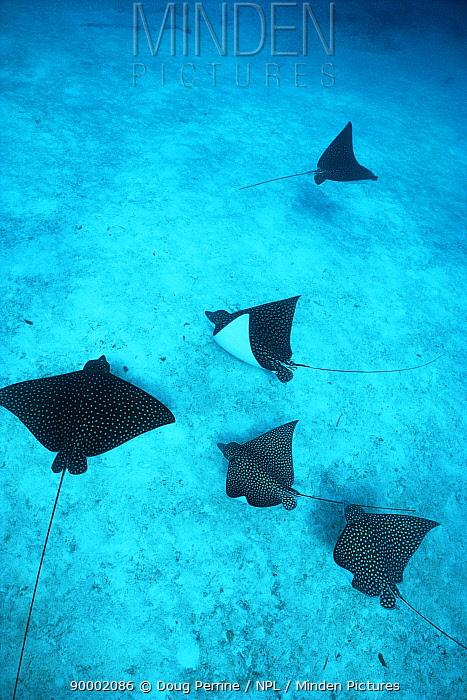 Spotted Eagle Ray (Aetobatus narinari) Bahamas  -  Doug Perrine/ npl