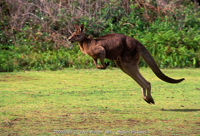 Eastern Grey Kangaroo male jumping, hopping (Macropus giganteus) Victoria, Australia  -  Dave Watts/ npl