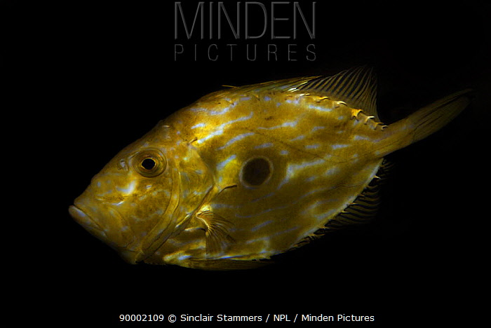 John Dory (Zeus faber) showing 'evil eye' defence markings  -  Sinclair Stammers/ npl