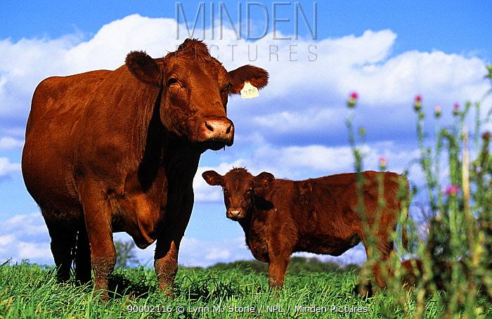Two South Devon Cows (Bos taurus) in field, Wisconsin, USA  -  Lynn M. Stone/ npl