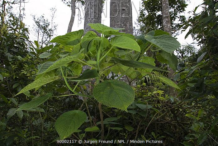 Stinging Tree (Laportea gigas) Australia  -  Jurgen Freund/ npl
