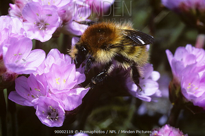 Brown-banded carder bumble bee (Bombus humilis) overwintered queen foraging on thrift, UK  -  Premaphotos/ npl