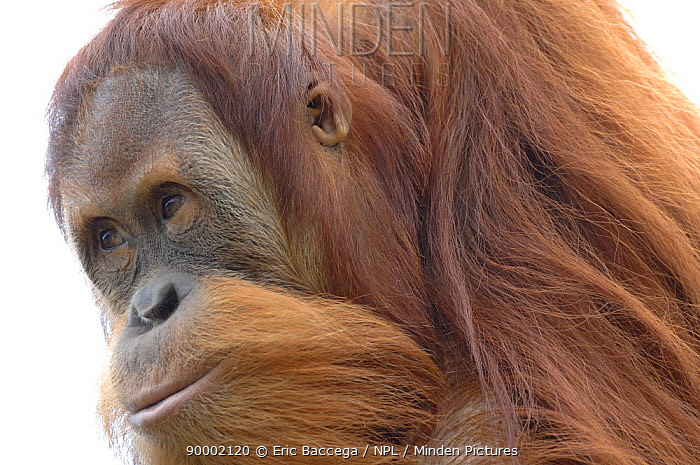 Orangutan (Pongo pygmaeus), young male aged 9 years, captive  -  Eric Baccega/ npl