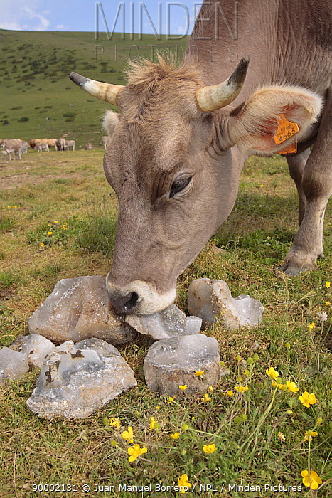 Cow (Bos taurus) licking salt in the Pyrenees mountains, Catalonia, Lerida, Spain  -  Juan Manuel Borrero/ npl