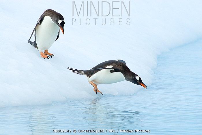 Gentoo Penguin (Pygoscelis papua) jumping off glacial ice on the western Antarctic Peninsula, Southern Ocean  -  Steven Kazlowski/ npl
