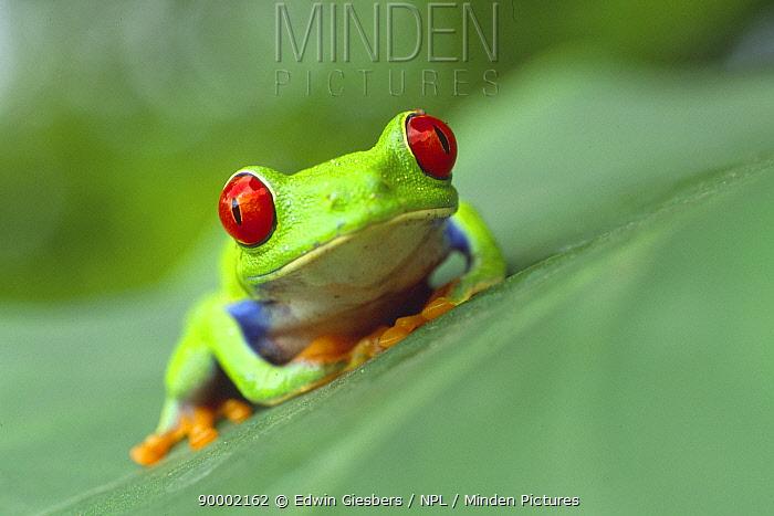 Red-eyed Tree Frog (Agalychnis callidryas) sitting on leaf, Costa Rica  -  Edwin Giesbers/ npl