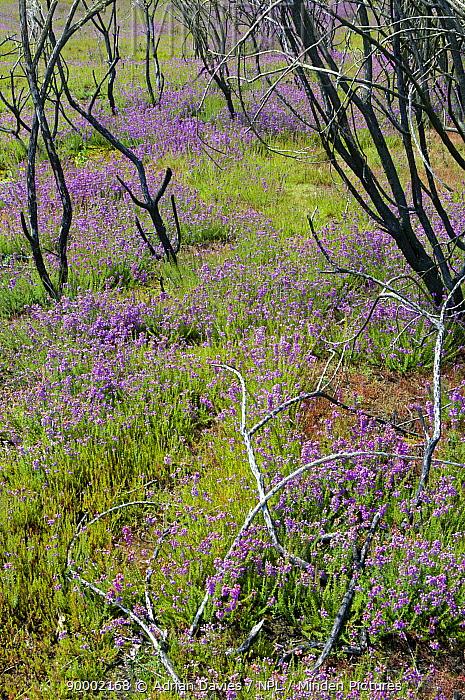 Regeneration of heathland following major fire in 2006 Thursley Common National Nature Reserve, Surrey, England July, 2008  -  Adrian Davies/ npl