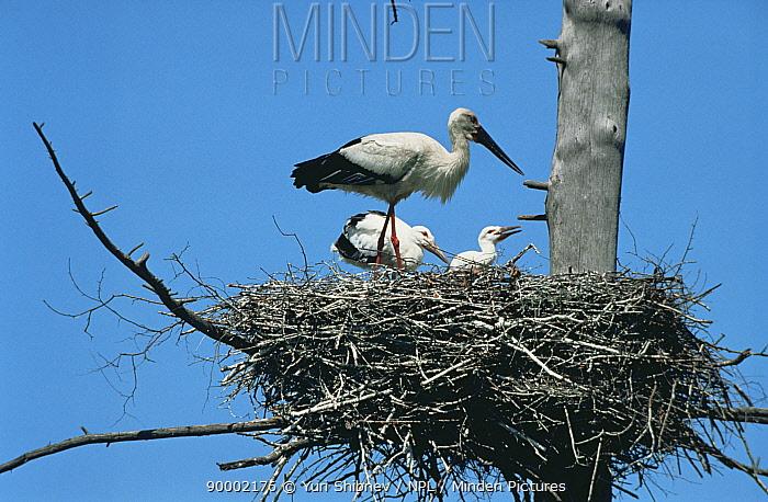 Oriental white stork (Ciconia boyciana) at nest with chicks, Primorskiy, Far East Russia  -  Yuri Shibnev/ npl