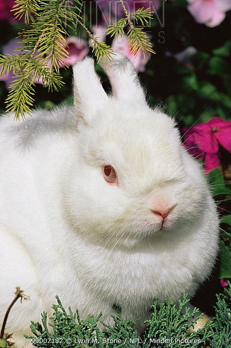 Netherland dwarf domestic rabbit (Oryctolagus sp) USA  -  Lynn M. Stone/ npl