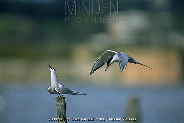 Common Tern (Sterna hirundo) pair performing courtship display United Kingdom  -  Colin Varndell/ npl