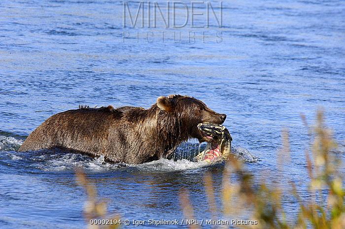 Brown Bear (Ursus arctos) with Salmon in river, Kronotsky Zapovednik Reserve, Kamchatka, Russia  -  Igor Shpilenok/ npl