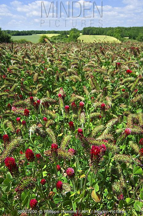 Field of Crimson clover (Trifolium incarnatum) cultivated as fodder, La Brenne, France  -  Philippe Clement/ npl
