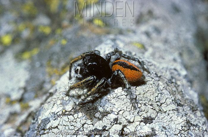 Male jumping spider (Philaeus chrysops) France  -  Premaphotos/ npl