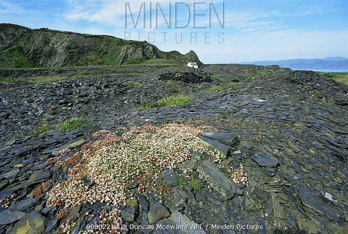 English Stonecrop (Sedum anglicum) flowering on old slate quarry, Scotland United Kingdom  -  Duncan McEwan/ npl