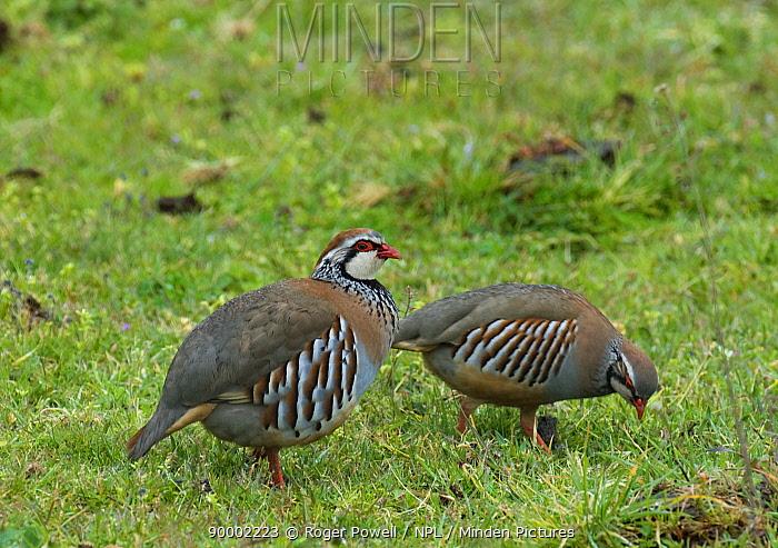 Red-legged Partridge (Alectoris rufa) male watching over female feeding, Extremadura, Spain  -  Roger Powell/ npl