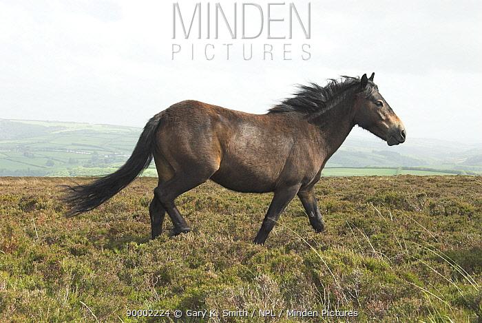 Exmoor Pony, Exmoor National Park, Somerset, UK, May  -  Gary K. Smith/ npl