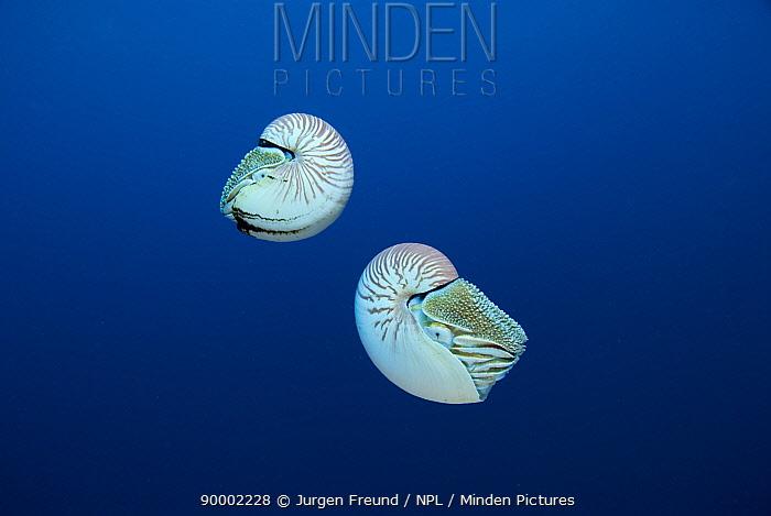 Two Chambered nautilus (Nautilus pompilius), Queensland, Australia  -  Jurgen Freund/ npl