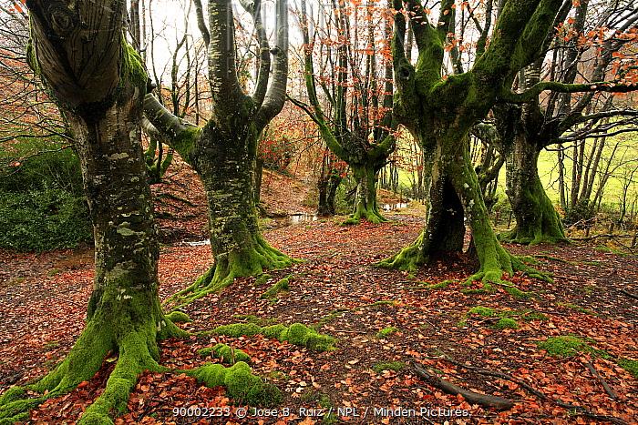 Late autumn in Beech woodland in Durango, Basque Country, Spain  -  Jose B. Ruiz/ npl