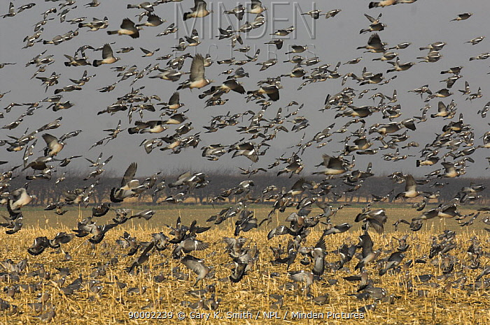 Common Wood-pigeon (Columba palumbus) flock over Maize (Zea s) stubble, Norfolk, England, United Kingdom  -  Gary K. Smith/ npl