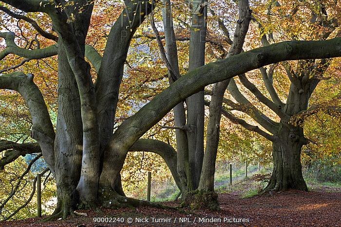 Autumnal Beech Woodland (Fagus sylvatica), with old trees,Gloucestershire, UK  -  Nick Turner/ npl