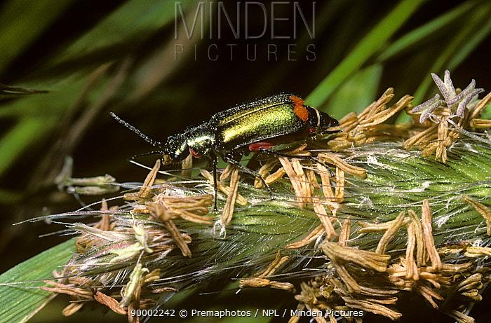 Red-tipped grass beetle (Malachius bipustulatus) feeding on grass pollen, UK  -  Premaphotos/ npl