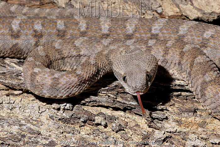 Oman Saw-scaled Viper (Echis omanensis) testing the air with tongue, Wasi Helo, UAE  -  Tony Phelps/ npl
