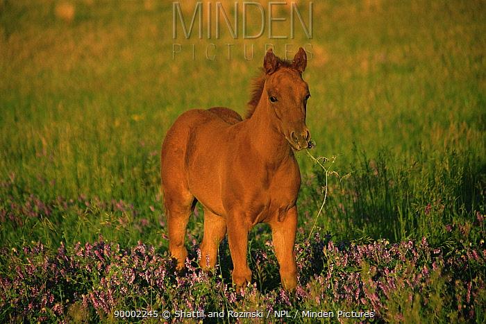 Quartermaster foal (Equus caballus) filly grazing, Colorado, USA  -  Shattil & Rozinski/ npl