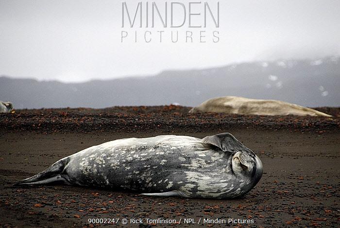 Weddell Seal (Leptonychotes weddellii) bask on the volcanic shore line, Deception Island, Antarctic Peninsula, Antarctica  -  Rick Tomlinson/ npl