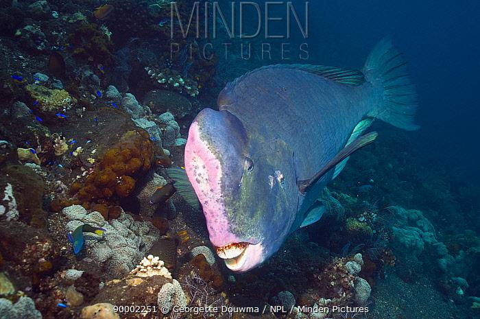Bumphead parrotfish (Bolbometopon muricatum) over coral reef, Bali, Indonesia  -  Georgette Douwma/ npl