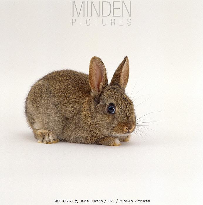 Agouti rabbit, juvenile  -  Jane Burton/ npl