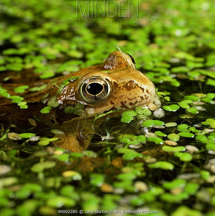 Common Frog (Rana temporaria) resting at surface amongst Duckweed  -  Jane Burton/ npl