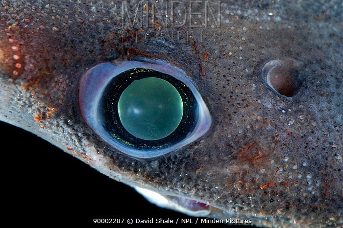 Close up of eye of Great lanternshark (Etmopterus princeps), deep sea Atlantic ocean  -  David Shale/ npl