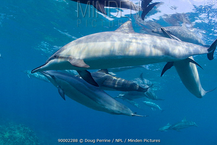 Hawaiian spinner dolphin, Gray's spinner dolphin  -  Doug Perrine/ npl