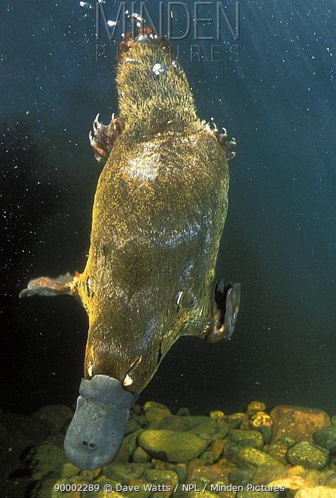 Platypus (Ornithorhynchus anatinus) swimming, Tasmania  -  Dave Watts/ npl