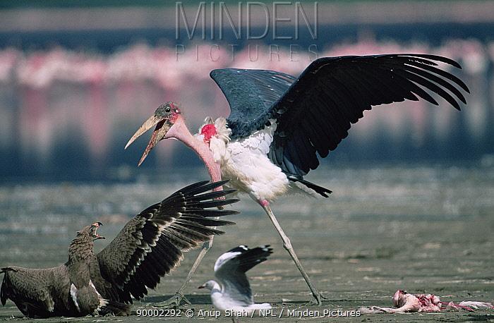 Marabou Stork (Leptoptilos crumeniferus) attacking Tawny eagle (Aquila Rapax) to scavenge Lesser flamingo carcass, Lake Nakuru, Kenya  -  Anup Shah/ npl