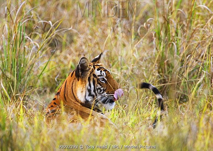 Bengal Tiger (Panthera tigris tigris) lying in long grass, licking nose, Bandhavgarh National Park, India  -  Tony Heald/ npl