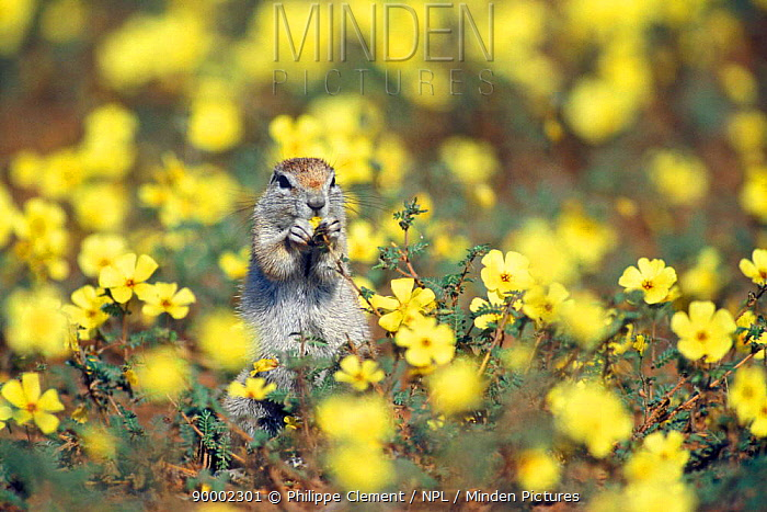 Cape Ground Squirrel (Xerus inauris) feeding amongst Devil's thorn weed flowers in the Kalahari dunes, Kgalagadi National Park, South Africa  -  Philippe Clement/ npl