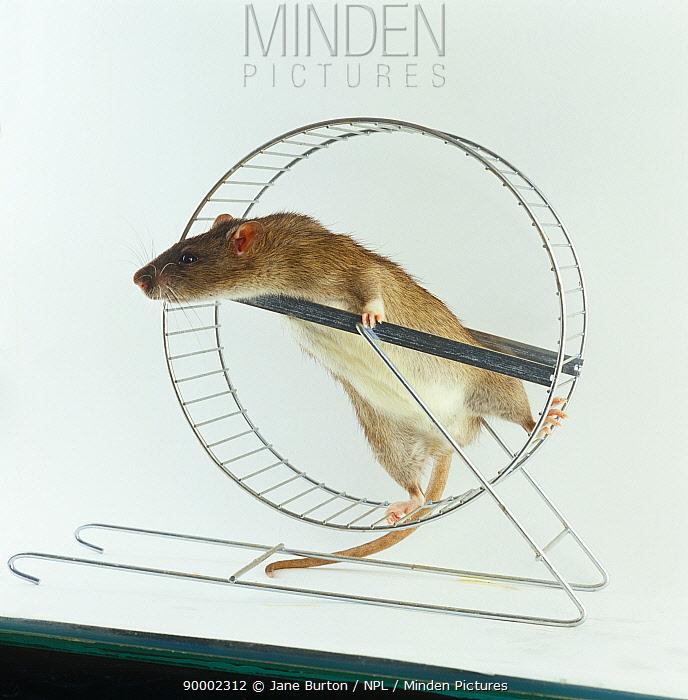 Agouti tame Rat (Rattus sp) climbing in exercise wheel  -  Jane Burton/ npl