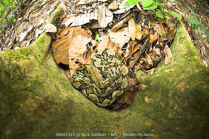 Looking down on Reticulated Python (Python reticulatus) resting at the base of buttress rooted tree Kinabatangan River, Sabah, Borneo  -  Nick Garbutt/ npl