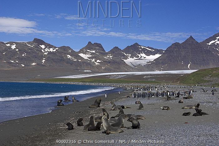 Antarctic Fur Seal (Arctocephalus gazella) and king penguins (Aptenodytes patagonicus) Salisbury Plain, South Georgia, Antarctica  -  Chris Gomersall/ npl