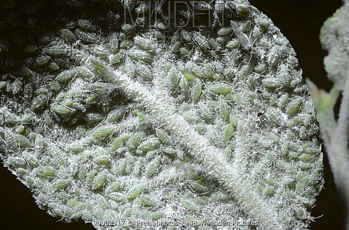 Mass of Mealy plum aphids (Hyalopterus pruni) beneath a plum leaf, UK  -  Premaphotos/ npl
