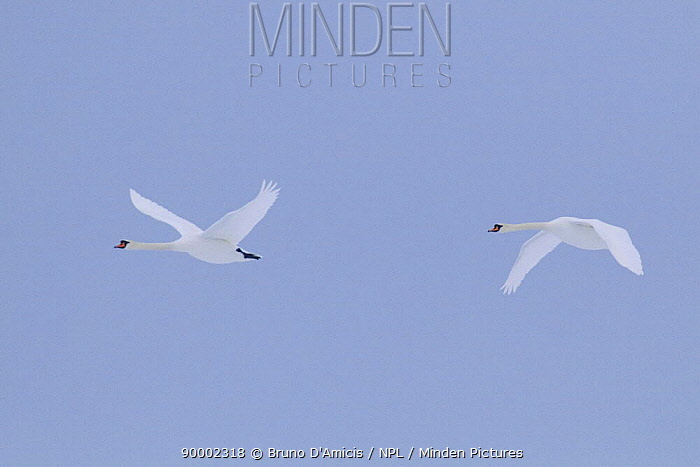 Mute Swan (Cygnus olor) pair in flight against sky Poland  -  Bruno D'amicis/ npl