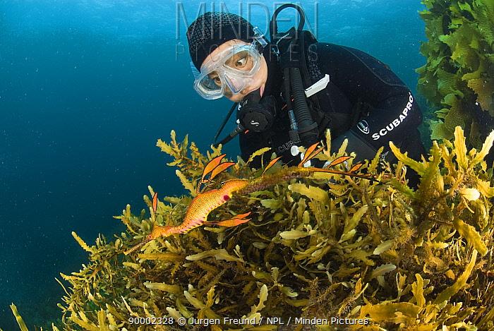 Weedy Seadragon (Phyllopteryx taeniolatus) and diver amongst seaweed, Albany, Western Australia  -  Jurgen Freund/ npl