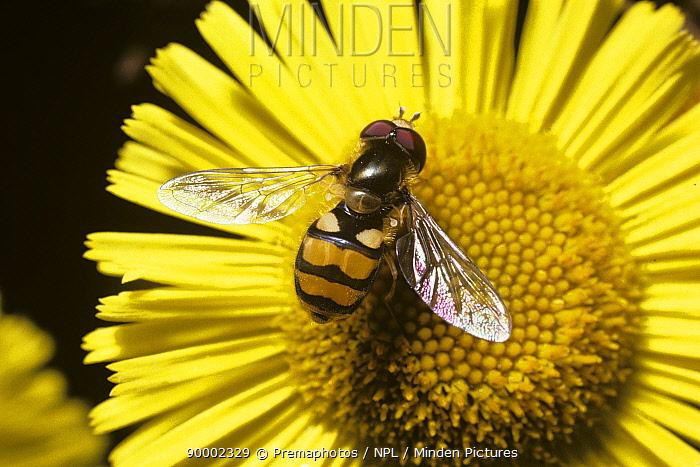 Meadow icon hover fly (Metasyrphus latifasciatus) on Common fleabane flower, UK  -  Premaphotos/ npl