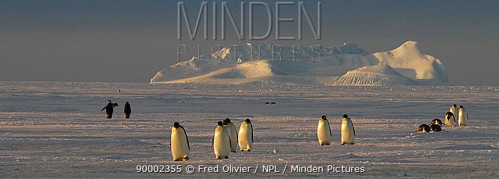 Emperor Penguin (Aptenodytes forsteri) crossing antarctic landscape, some walking, some sliding, Antarctica  -  Fred Olivier/ npl