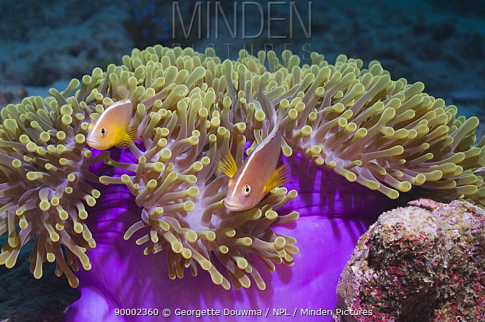 Skunk Anemonefish (Amphiprion akallopisos) pair with anemone Andaman Sea, Thailand  -  Georgette Douwma/ npl